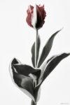ハナ 2020-013 Tulip #4